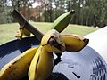 Starr-091112-9624-Musa x paradisiaca-Iholena fruit from Banana Patch LZ-Olinda-Maui (24362890693).jpg