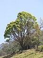Starr-100331-4078-Cinnamomum camphora-habit large tree-Ulupalakua-Maui (25013558175).jpg