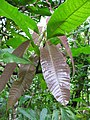 Starr-100430-2652-Mangifera indica-red leaves-Iao-Maui (24400402894).jpg