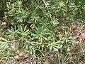 Starr-110307-2422-Banksia integrifolia-leaves-Kula Botanical Garden-Maui (24451195273).jpg