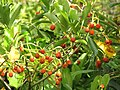 Starr-110330-3681-Fagraea berteroana-fruit-Garden of Eden Keanae-Maui (24453756283).jpg