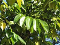 Starr-110330-4033-Canarium ovatum-leaves-Garden of Eden Keanae-Maui (24987823091).jpg