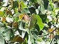 Starr-110330-4195-Ochroma pyramidale-leaves-Garden of Eden Keanae-Maui (24988069331).jpg