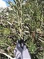 Starr-110331-4454-Banksia marginata-branch-Shibuya Farm Kula-Maui (24786143600).jpg