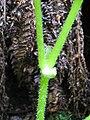 Starr-110713-7406-Hillebrandia sandwicensis-node-Ainahou Bowl Koolau Gap-Maui (25099707135).jpg