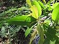 Starr-120406-4352-Syzygium cumini-leaves-Kawela Bridge-Molokai (25112490526).jpg