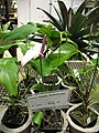 Starr-120522-6569-Anthurium andraeanum-purple flower-Iao Tropical Gardens of Maui-Maui (24513265194).jpg