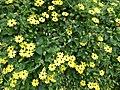Starr-150811-0546-Thunbergia alata-Sundance flowering habit-Enchanting Floral Gardens of Kula-Maui (24665062334).jpg