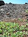 Starr 051020-4987 Heliotropium curassavicum.jpg