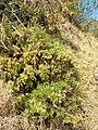 Starr 060121-8694 Artemisia mauiensis var. diffusa.jpg