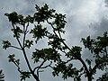Starr 060221-6038 Rhus sandwicensis.jpg