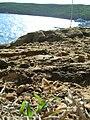 Starr 060405-6870 Dactyloctenium aegyptium.jpg