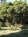 Starr 070111-3088 Ficus microcarpa.jpg