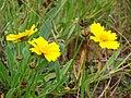 Starr 070308-5312 Coreopsis lanceolata.jpg