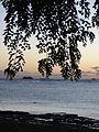 Starr 070727-7685 Pterocarpus indicus.jpg