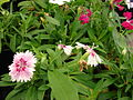 Starr 080117-1685 Dianthus sp..jpg