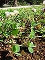 Starr 080418-4249 Trifolium repens.jpg
