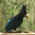 Steller's Jay Eating Peanut.png