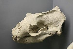 Steller sea lion - Steller sea lion skull