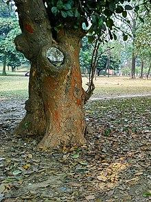 Jackfruit Wikipedia
