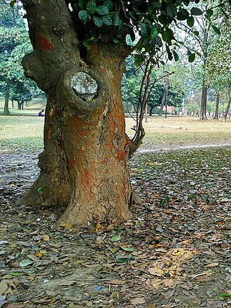 Jackfruit - Jackfruit tree trunk showing texture and coloration