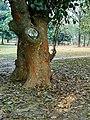 Stem of jackfruits tree.jpg