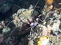 Stenopus hispidus (28236224157).jpg