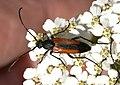 Stenurella-melanura-01-fws.jpg
