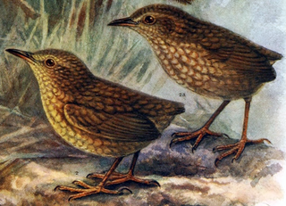 Introduced species and their habitats 320px-Stephens_Island_Wren