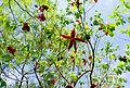 Sterculia lanceolata 6.jpg