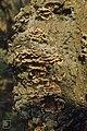 Stereum hirsutum on oak, Great Garth, 10 10 1971 (31022158615).jpg