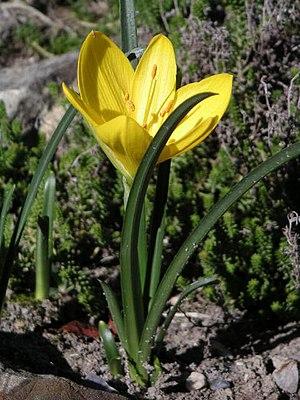 Sternbergia - Sternbergia lutea