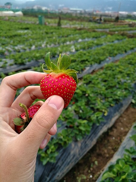 Baguio tourist spots, Baguio travel guide, strawberry farm