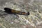 Stream Ruby Damselfly 7517.jpg