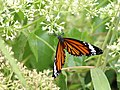 Striped tiger IMG 7279.jpg