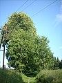 Stromoradi kosov1.jpg