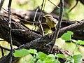 Sulphur-bellied Warbler (29775873004).jpg