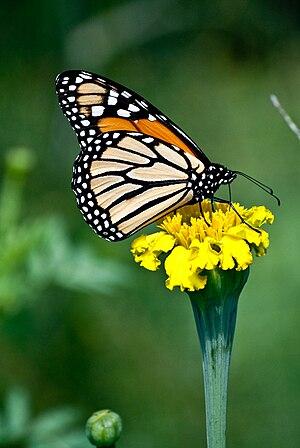 ButterFly in August