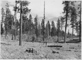 Summer of 1945 photo of a portion where logging slash was tractor piled during the previous summer and was burned... - NARA - 298680.tif