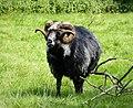 Super Sheep Herdwick Ram ? (39781429112).jpg