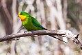 Superb Parrot (Polytelis swainsonii) (8079606839).jpg