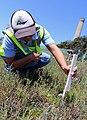 Surveying for salt marsh bird's beak (34003987952).jpg