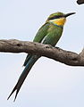 Swallow-tailed bee-eater, Merops hirundineus, at Marakele National Park, Limpopo, South Africa (23899343560).jpg