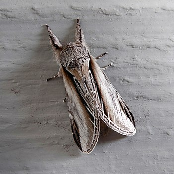 Swallow Prominent on a grey wall