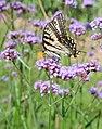 Swallowtail on Verbena Bonariensis (3799071977).jpg