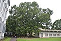 Swietenia mahagoni - Serampore College - Hooghly 2017-07-06 0889.JPG