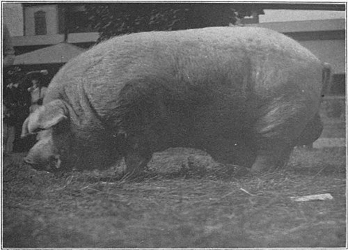Swine a book for students and farmers - Aged Chester White boar.jpg