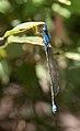 Sydney dragonfly Victoria Park pond 7.jpg