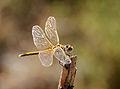 Sympetrum fonscolombii-pjt2.jpg