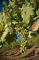 Syrah grapes pre veraison.jpg
